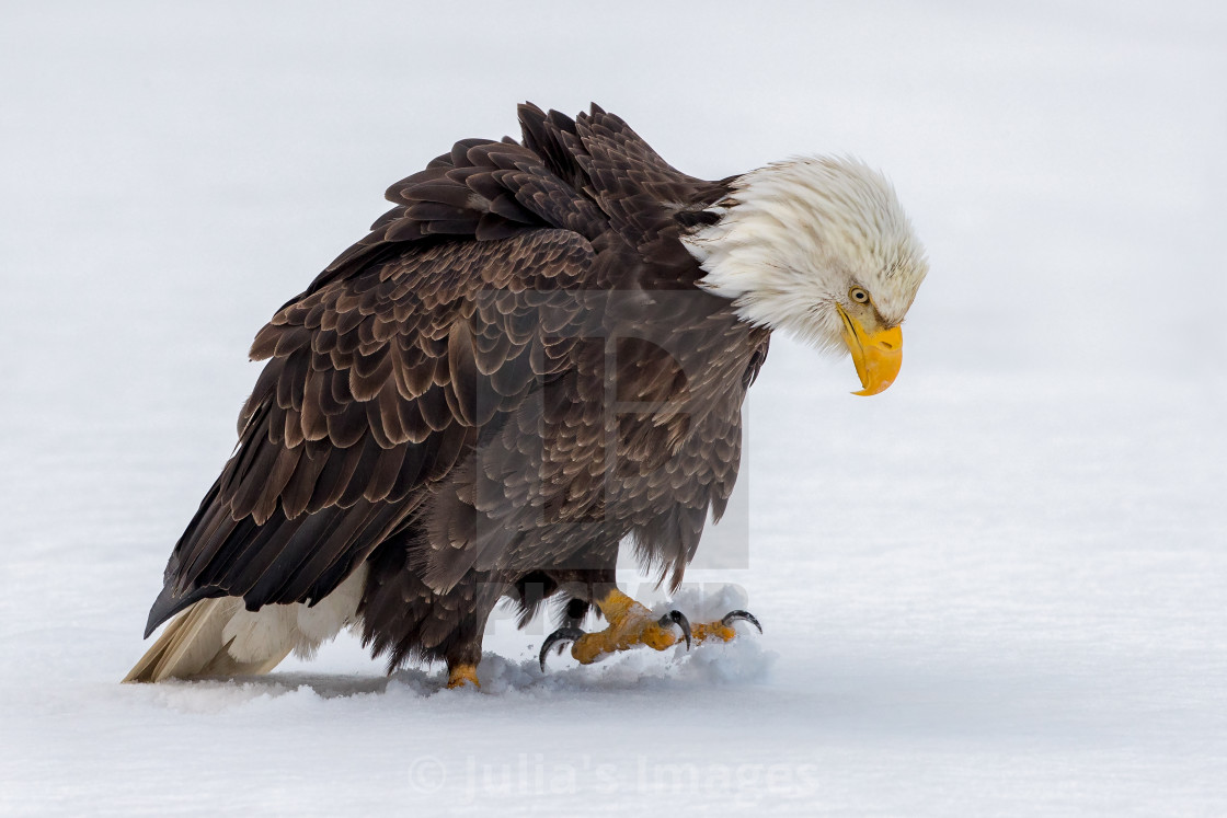 """Bald Eagle Walking on the Snow"" stock image"