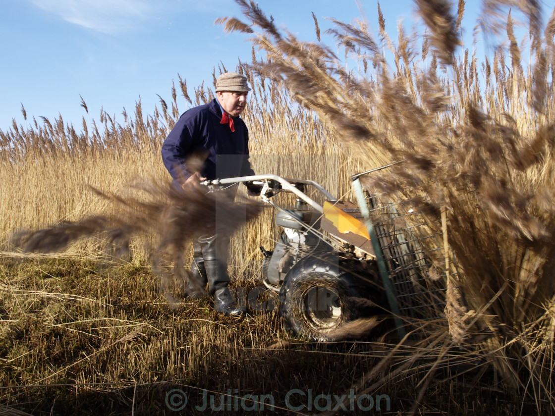 """Norfolk Reed cutter on the Broads"" stock image"