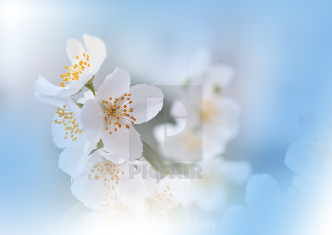 Macro Photography Floral Abstract Pastel Background With Copy Space White Jasmine Flowers In Soft Style For Wedding Card License Download Or Print For 31 00 Photos Picfair