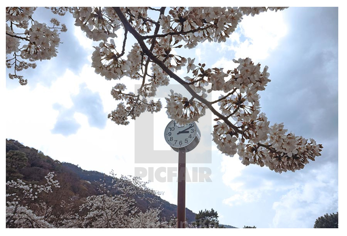 """cherry blossoms in Kyoto"" stock image"