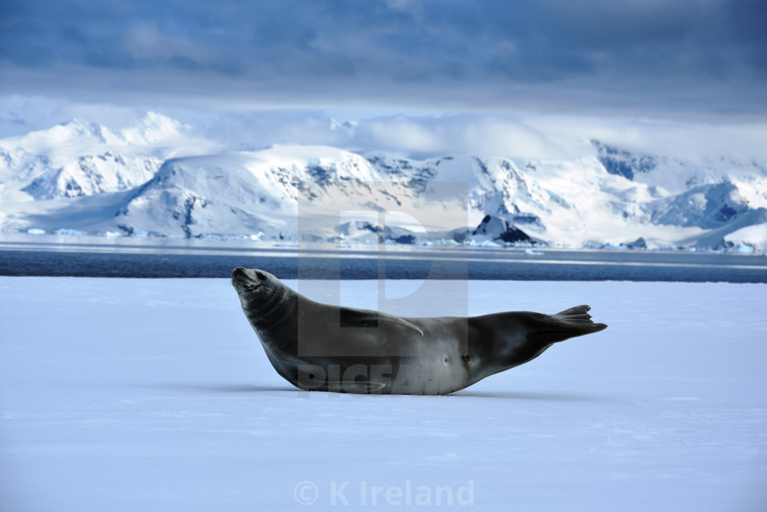 """Seal lying on iceberg in Antarctica"" stock image"