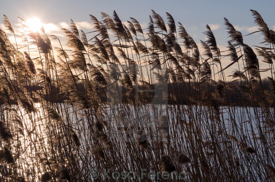 """Reeds at Sunset"" stock image"