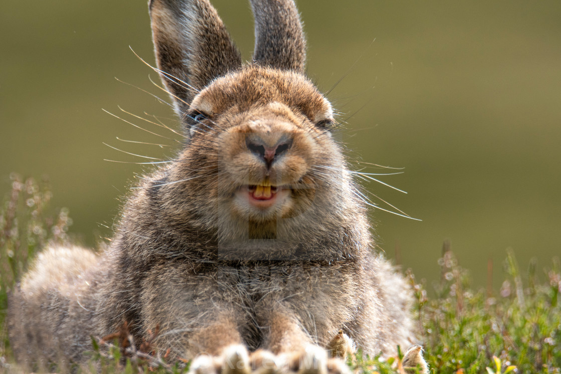 """Mountain Hare (Lepus timidus), Scottish Highlands, July 2019."" stock image"