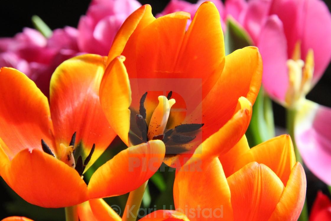 """Orange and Red Tulips"" stock image"