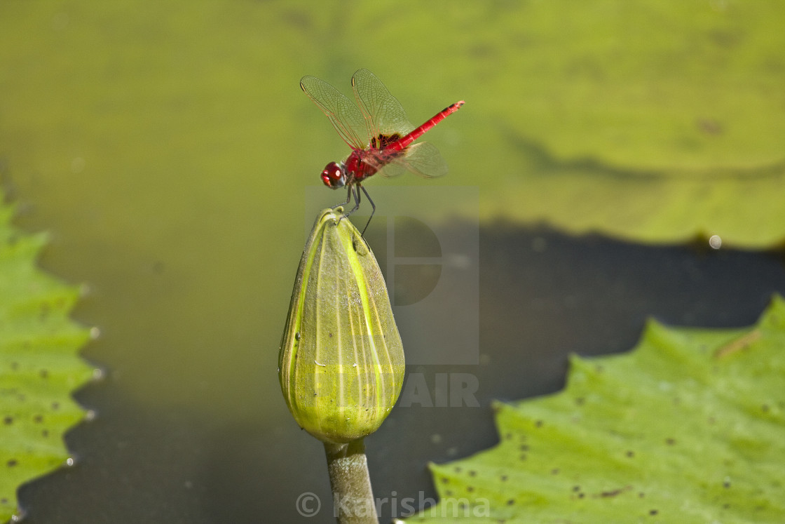 Pink Dragon Fly On A Lotus Flower Kruger South Africa License