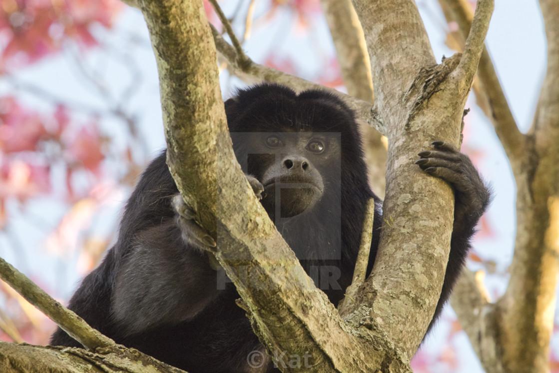 """Howler Monkey, Parque Ibera, Argentina"" stock image"