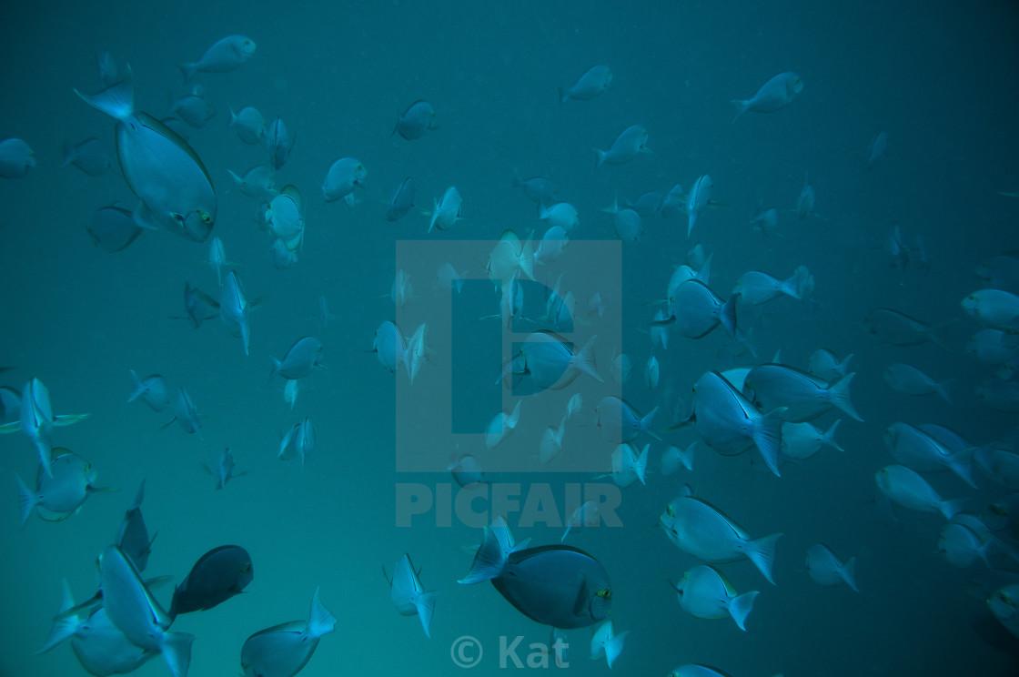 """Eyestripe Surgeonfish School, Maldives"" stock image"