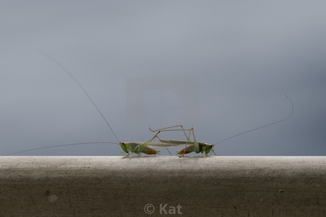 """Grasshoppers, mating"" stock image"