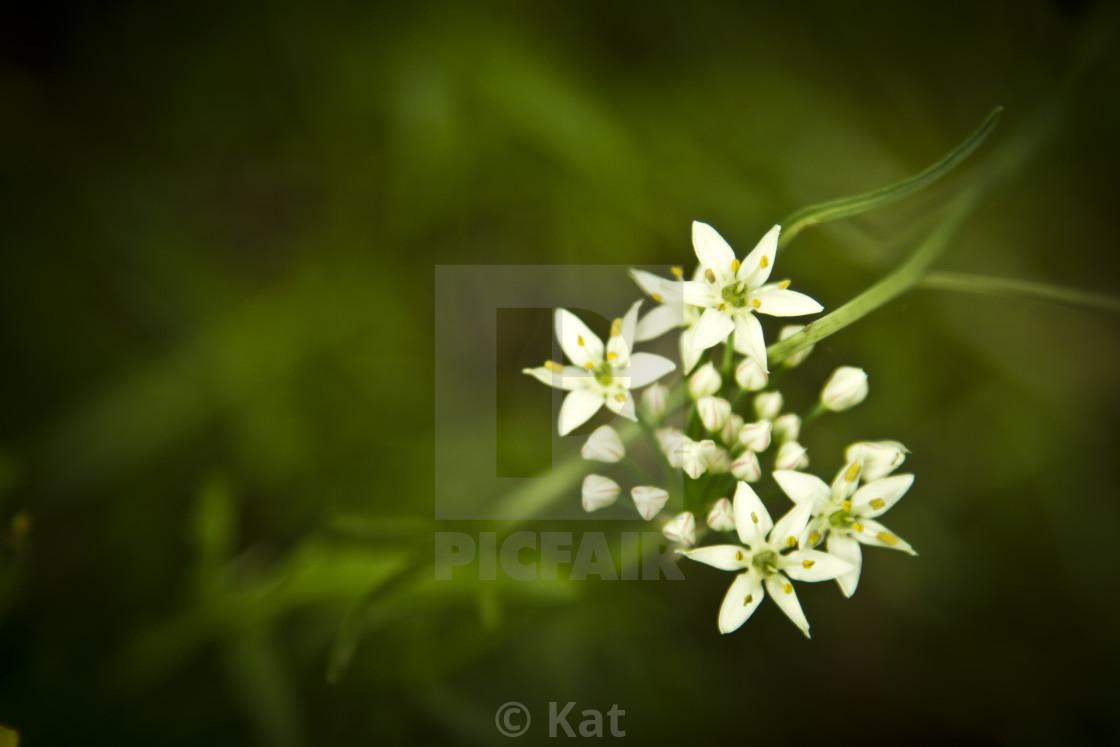 """""""Allium tuberosum/ Garlic Chives"""" stock image"""