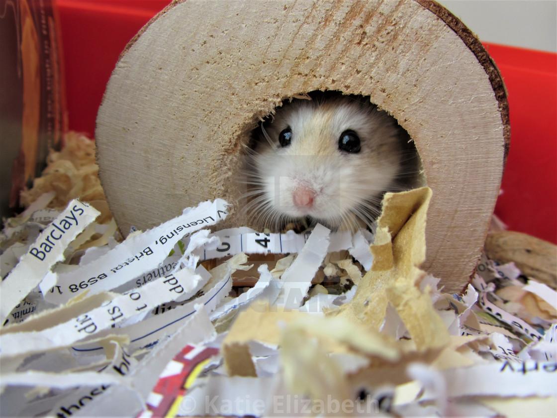 Roborovski Hamster in Log - License, download or print for