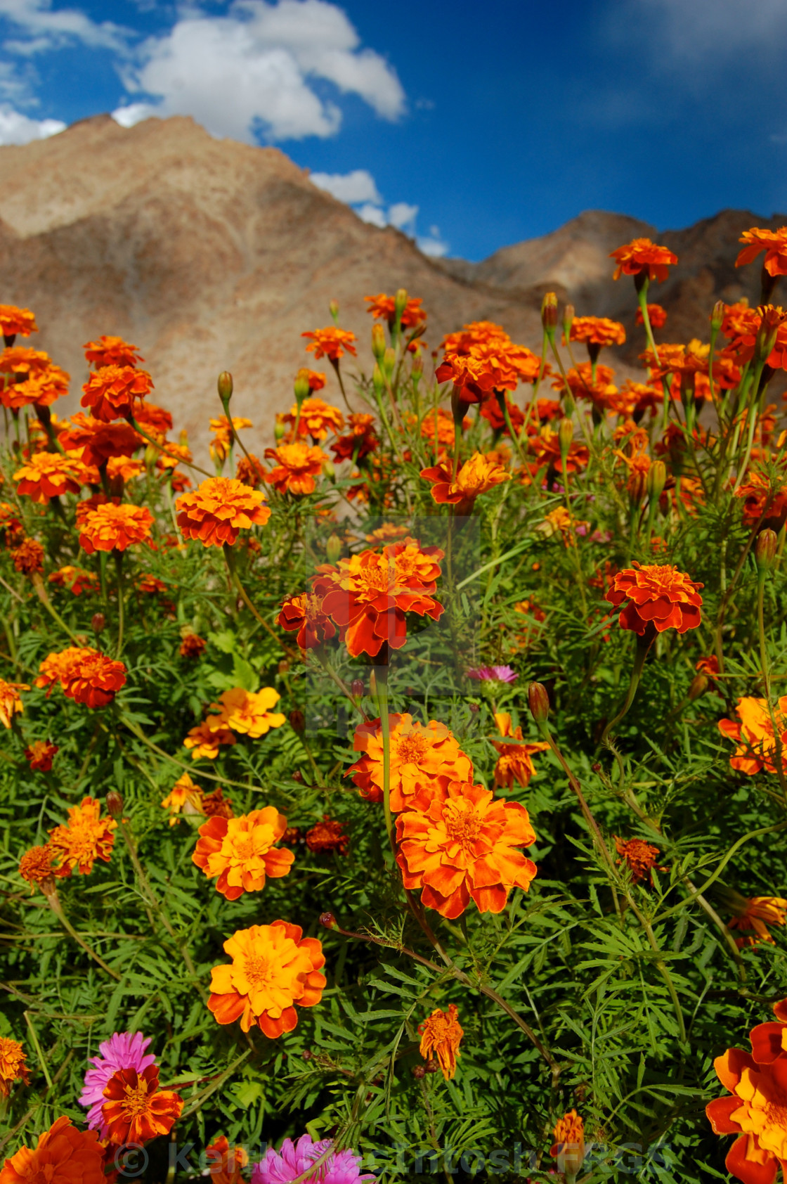 """Ladakhi Flowers"" stock image"