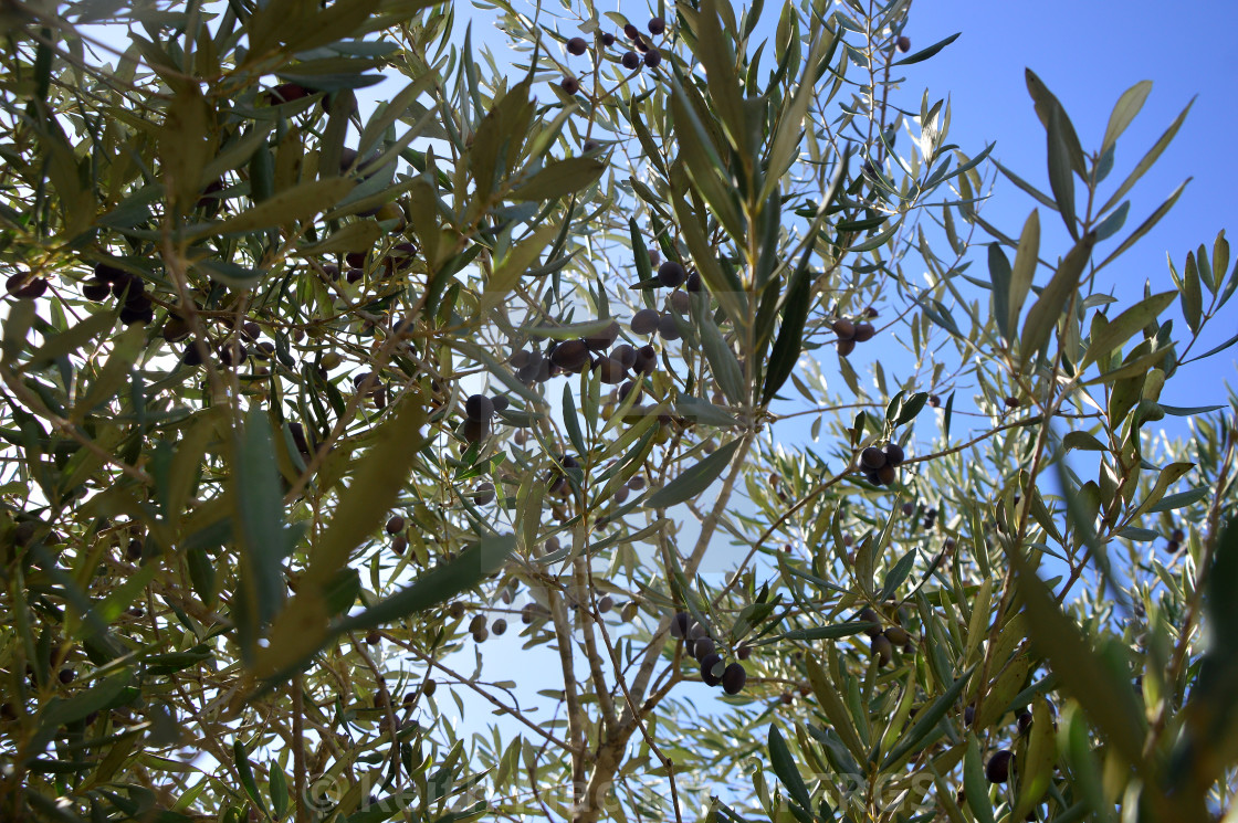 Magical Olives