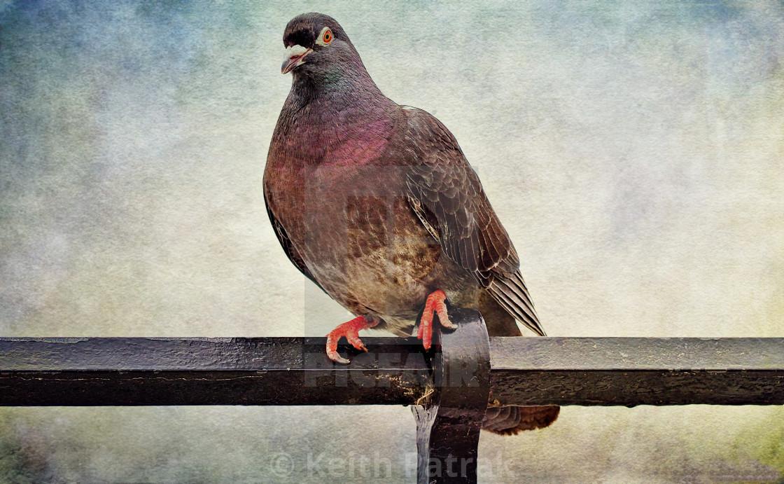 Feral Seaside Pigeon