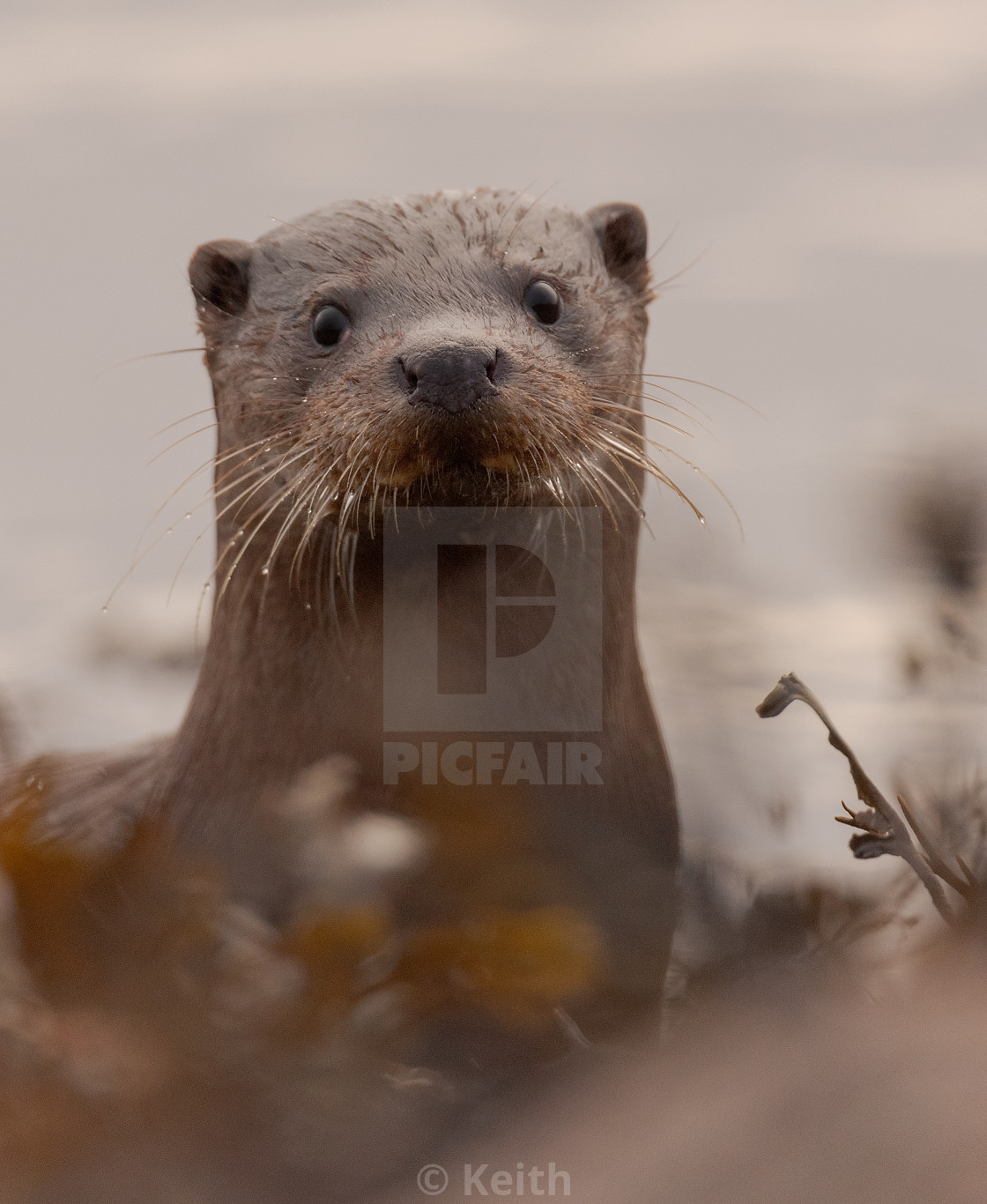 """Otter Eyeing me Up"" stock image"
