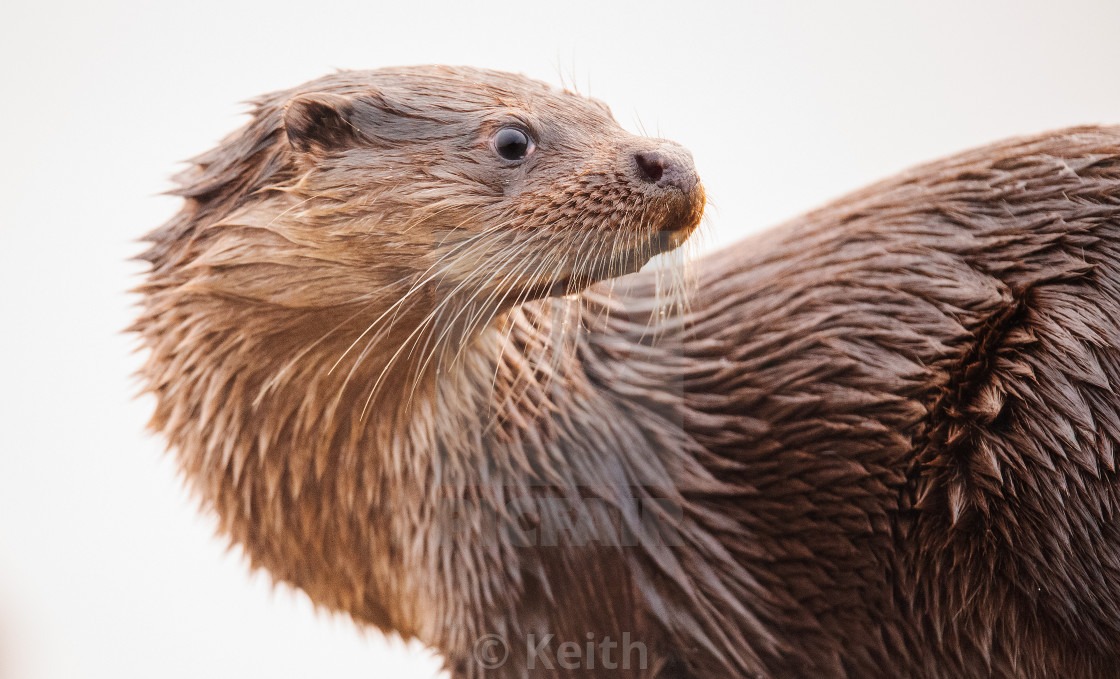 """""""Otter on the Twist"""" stock image"""