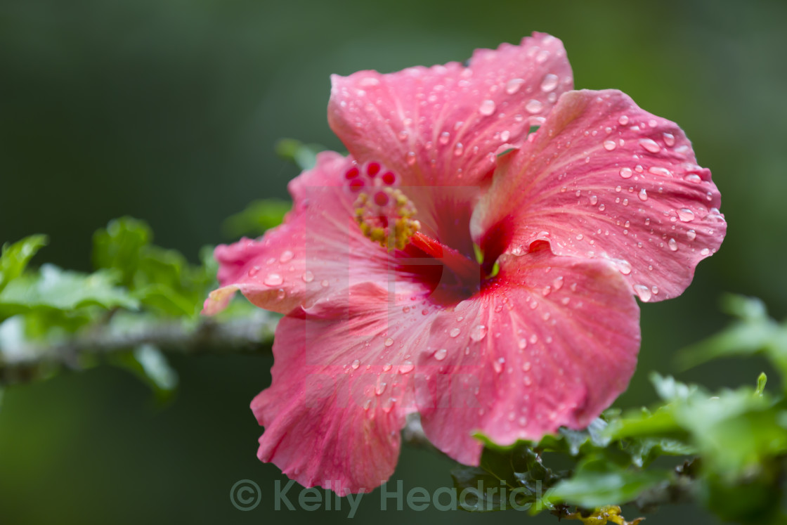 Hibiscus Flower License For 1116 On Picfair
