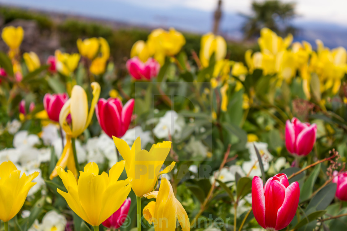"""""""Tulips growing in a field"""" stock image"""