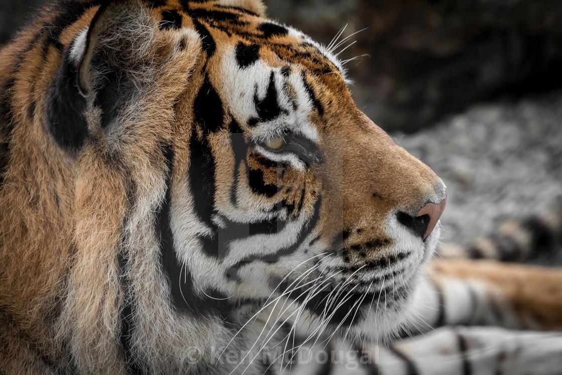 """Bengal Tiger Looking"" stock image"