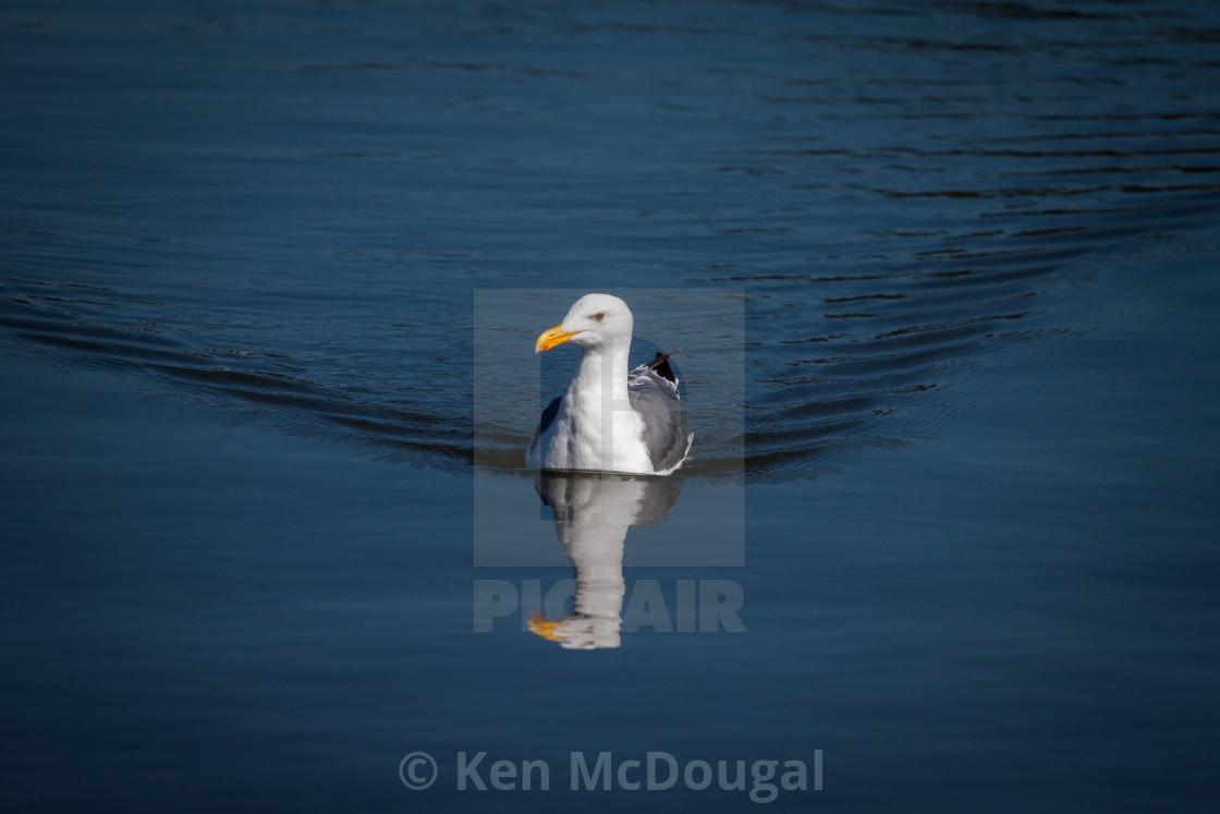 """Seagull Swimming"" stock image"