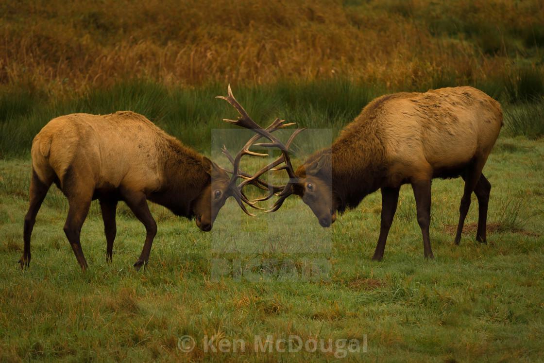 """Roosevelt Elk Fighting"" stock image"