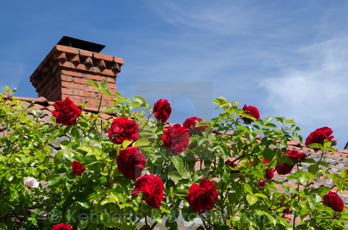 """""""Red roses at a roof"""" stock image"""