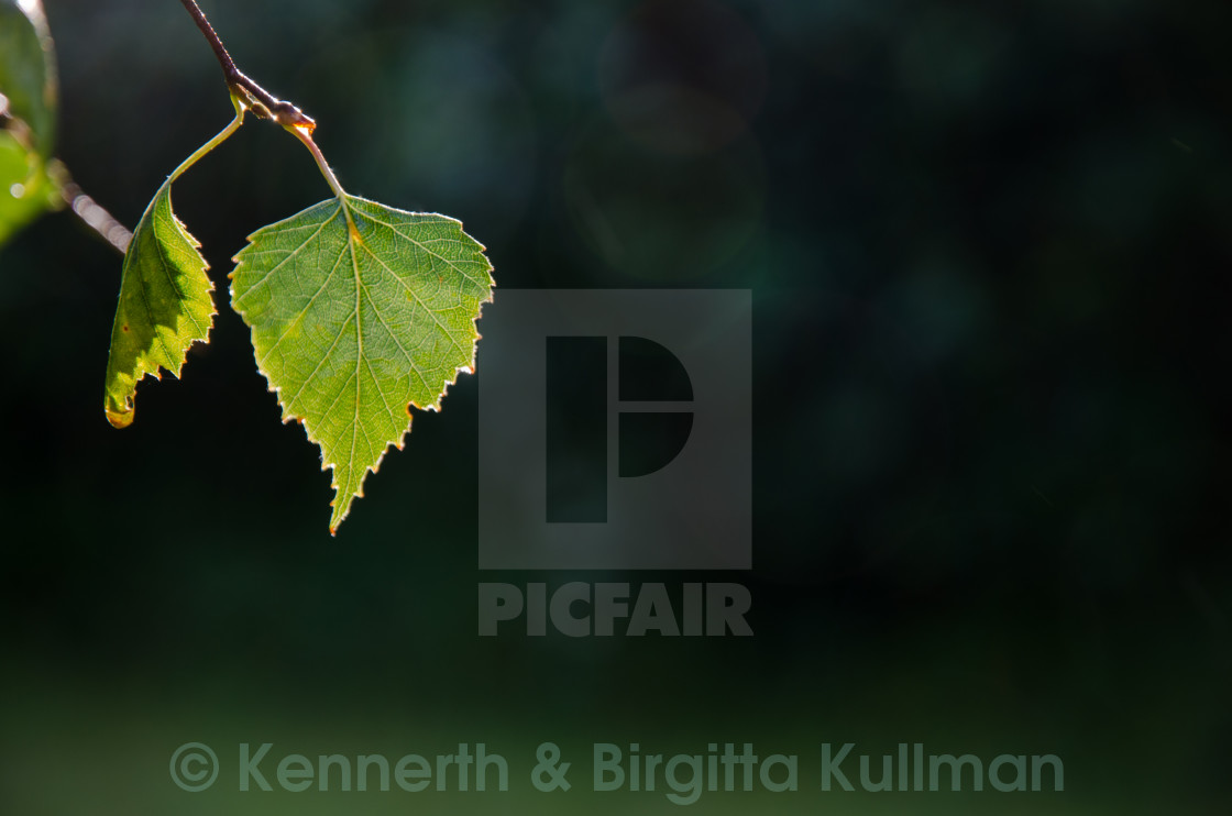 """Backlit shiny leaf"" stock image"