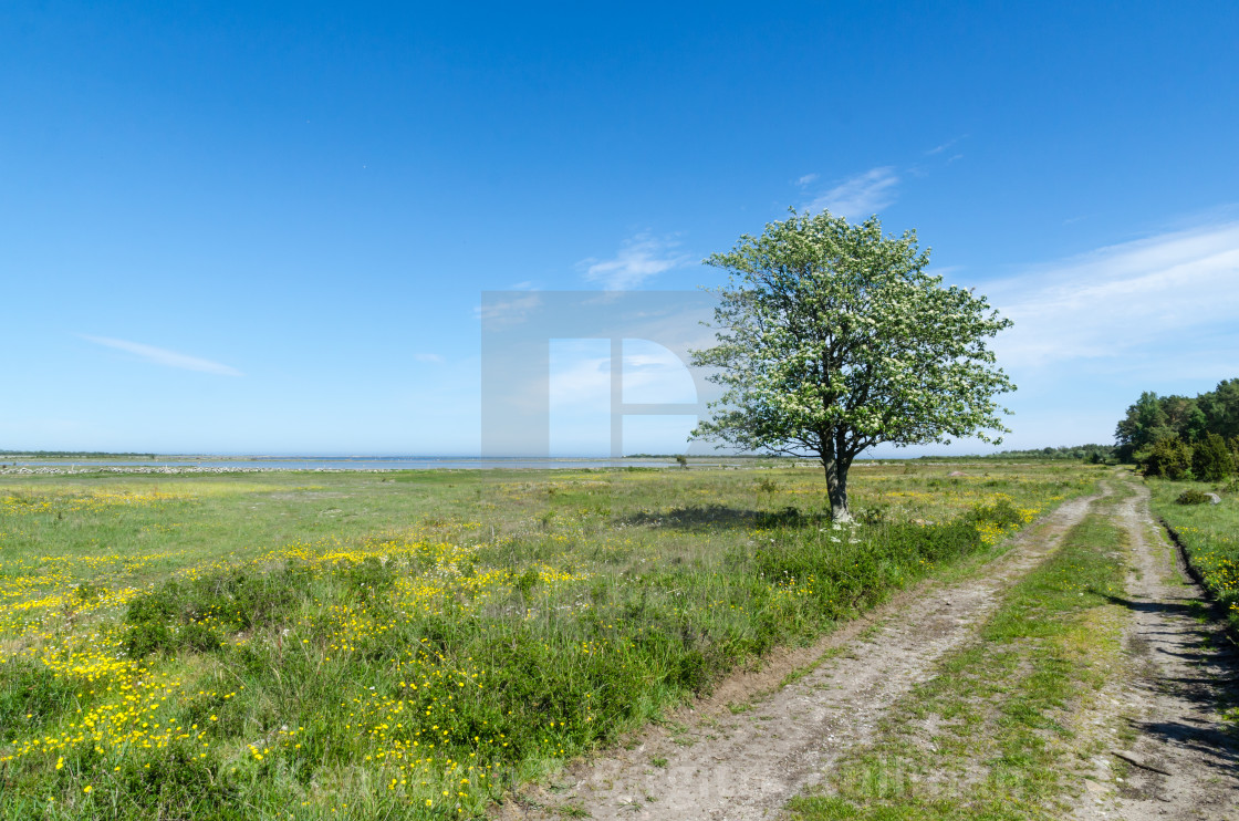 """Lone tree by a dirt road in a beautiful coastland by springtime"" stock image"