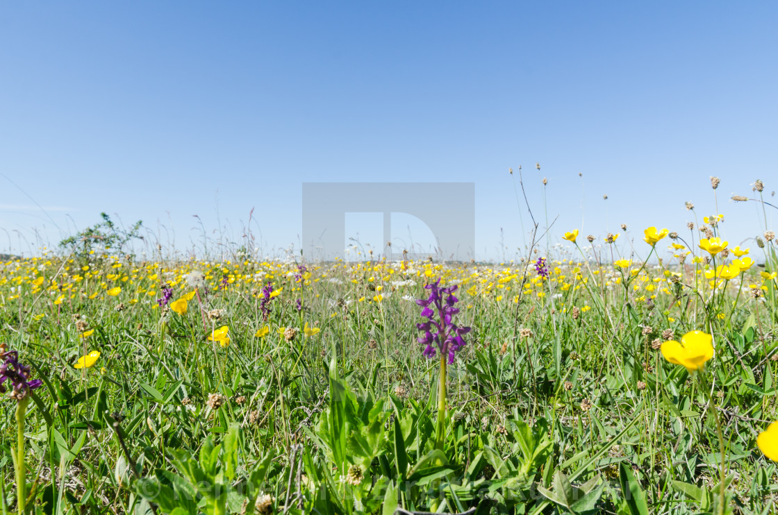"""Ground level image of a flowery field with wild growing flowers"" stock image"