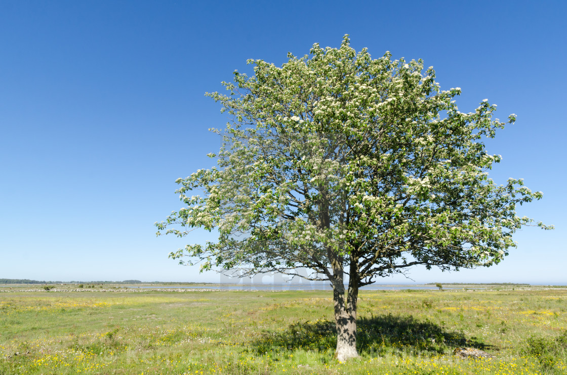"""Lone Whitebeam tree by springtime in a green and bright coastlan"" stock image"