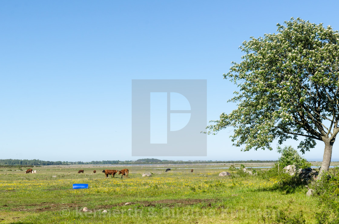 """Grazing cattle in a beautiful coastland by spring season"" stock image"