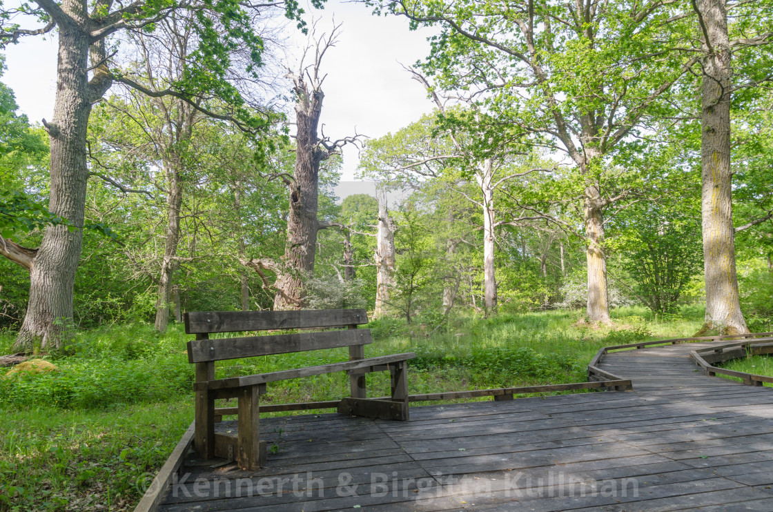 """Bench by a wooden footpath in a nature reserve with old oak tree"" stock image"