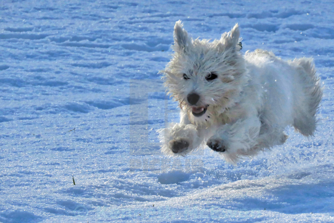 """West Highland Terrier running through snow"" stock image"