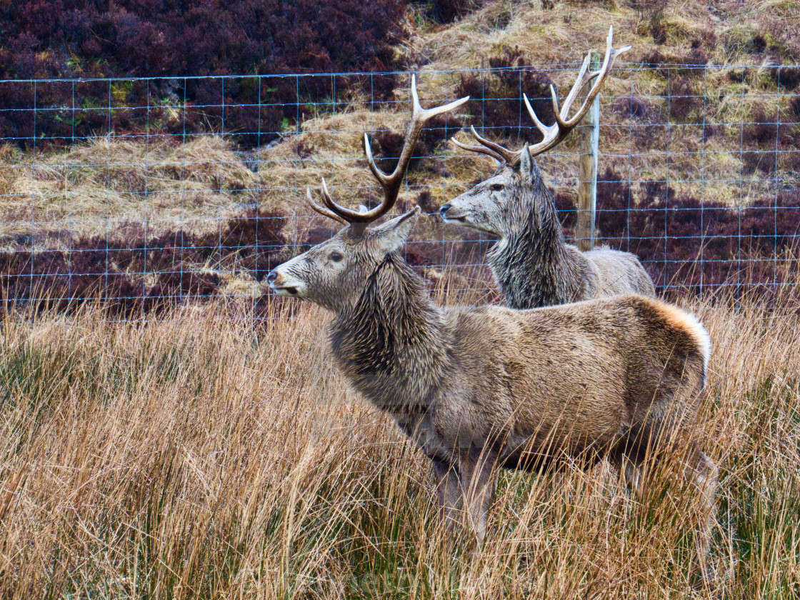 """Red deer stags"" stock image"