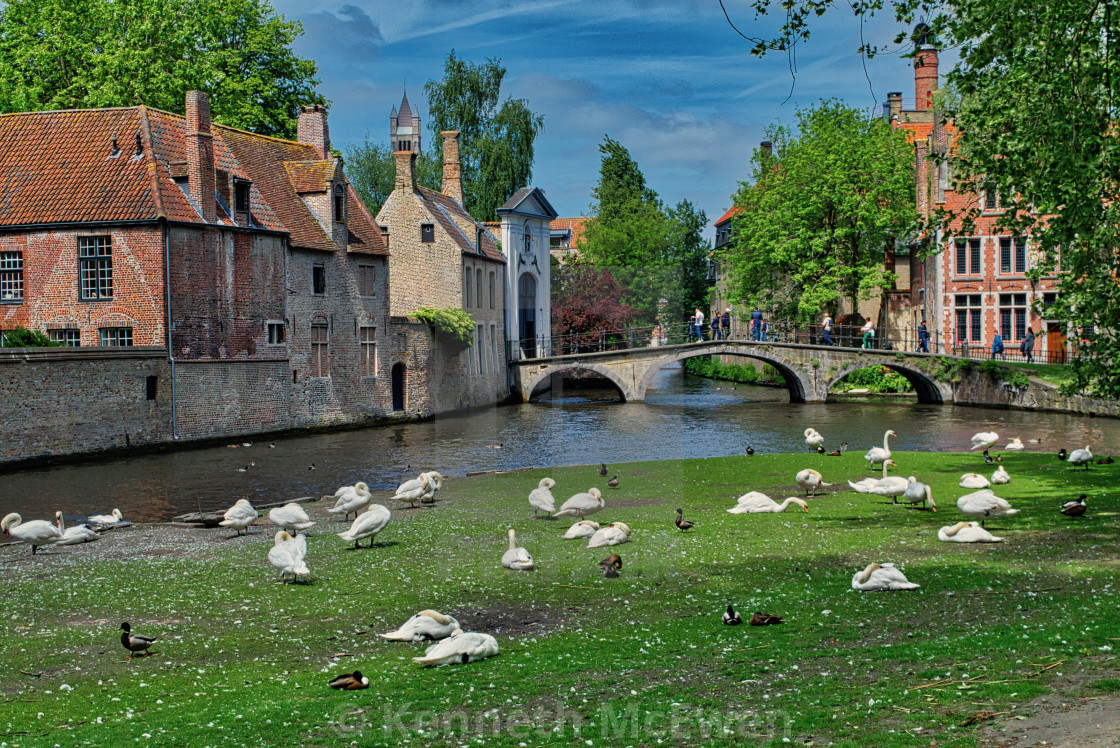 """Swans by the canals in Brugge"" stock image"