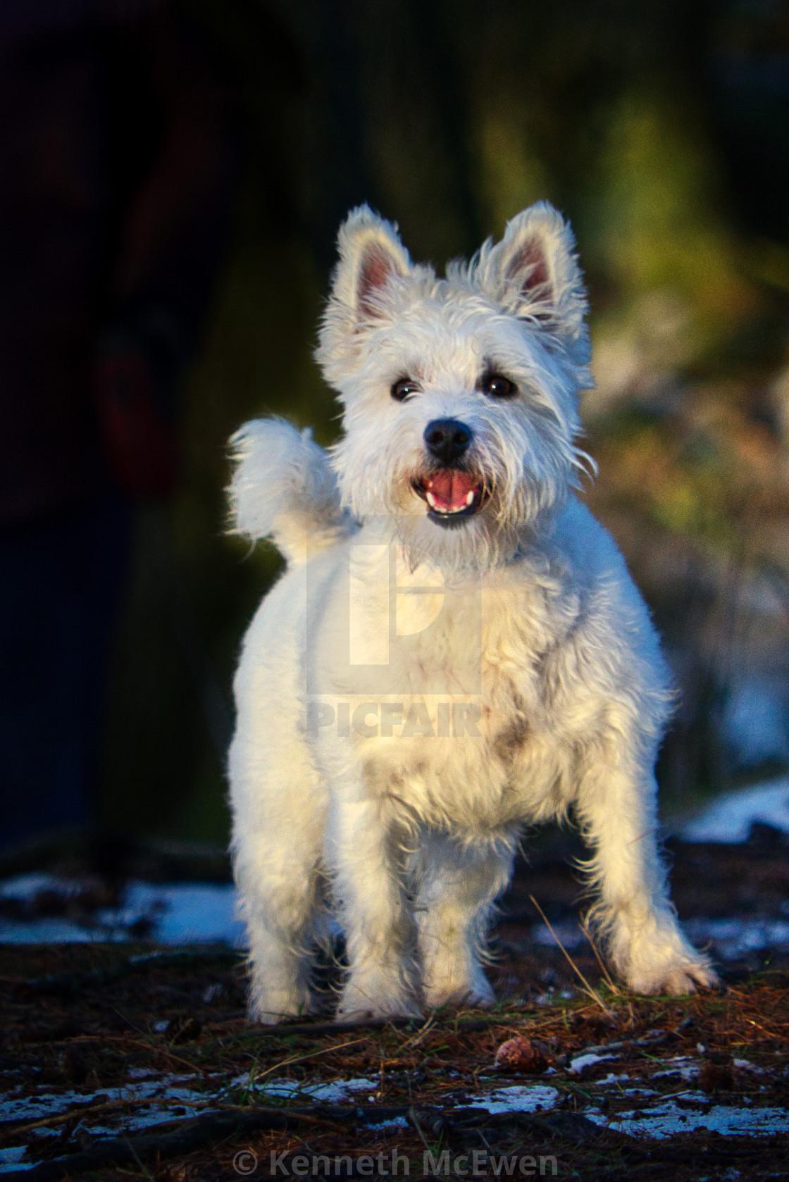 """West Highland Terrier"" stock image"