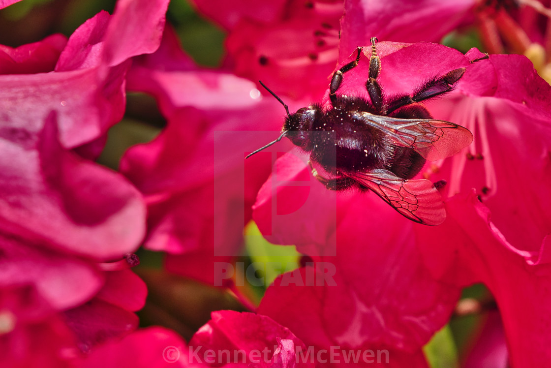 """Black Bumble Bee on a rhododendron"" stock image"