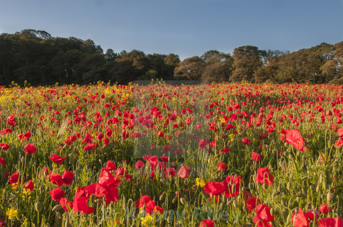 """Field of Poppies"" stock image"