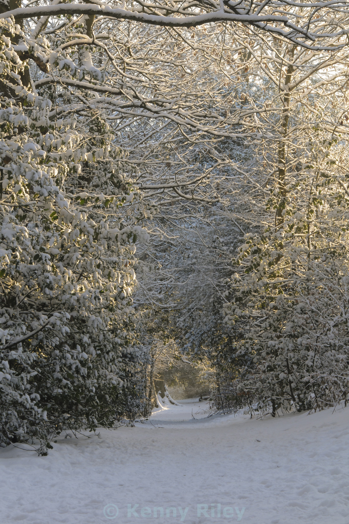 """""""Snow covered tree canopy"""" stock image"""