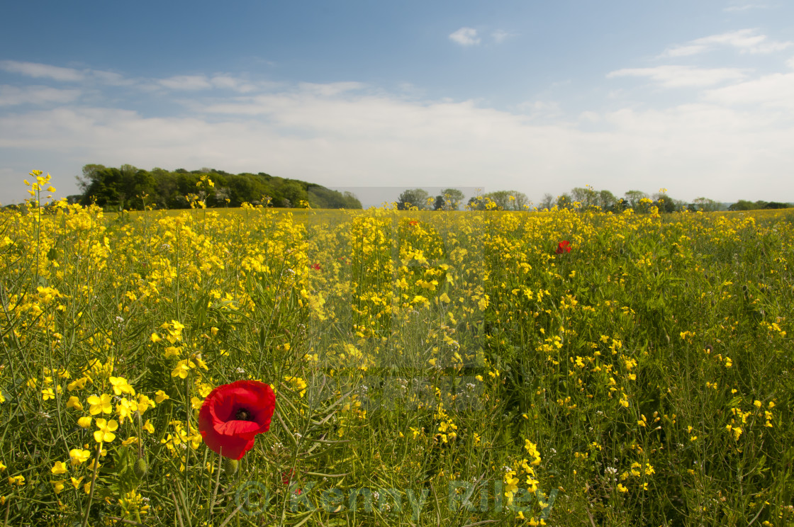 """Oil seed rape field with poppies"" stock image"