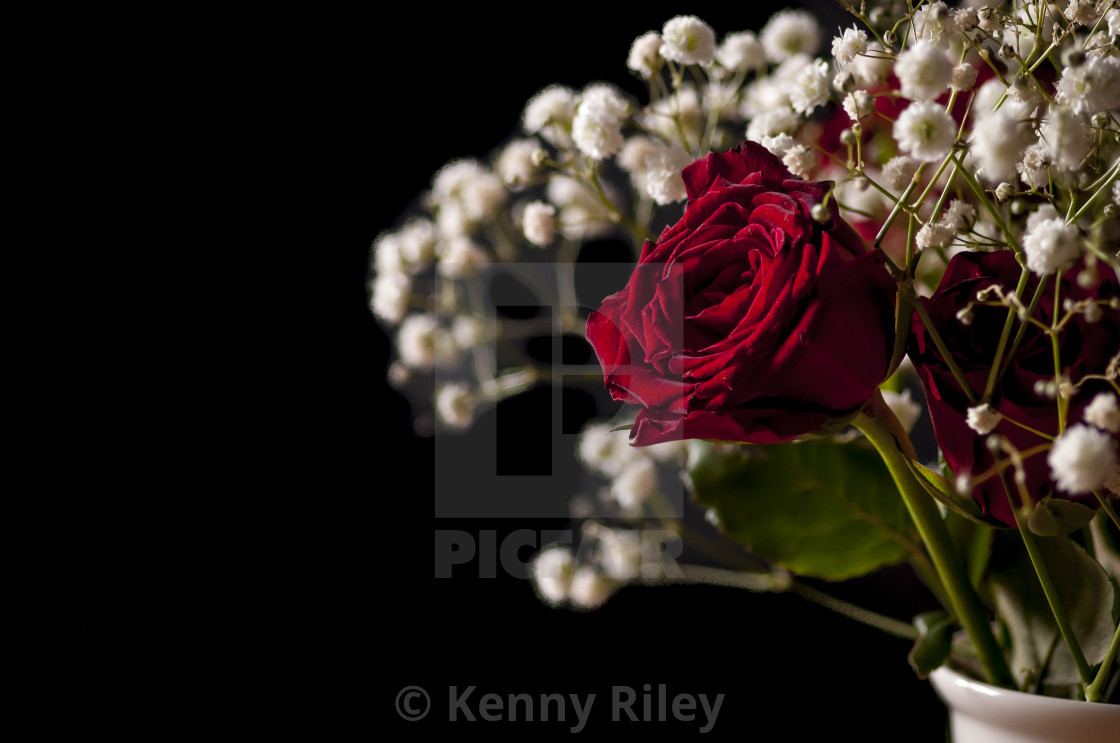 """A Red Rose"" stock image"