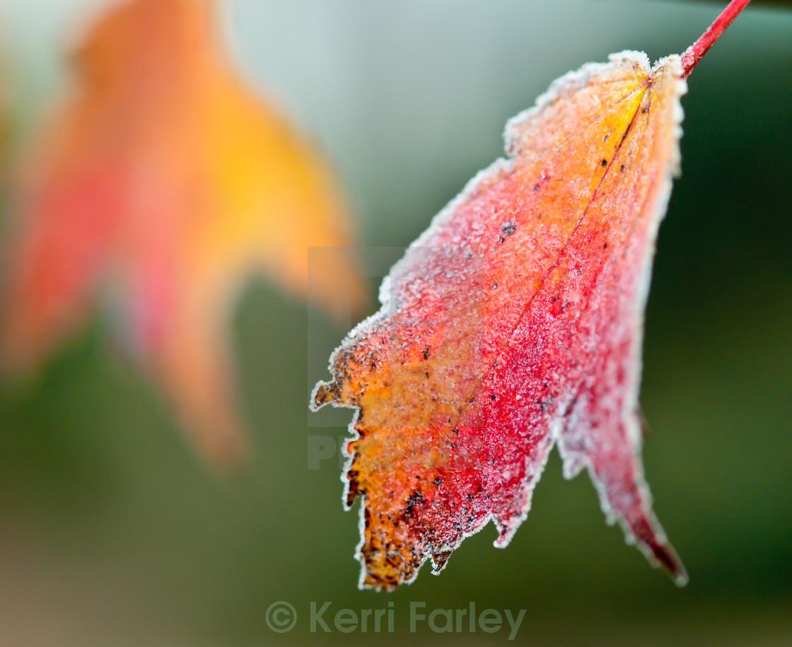 """""""Frosty Autumn Leaf"""" stock image"""