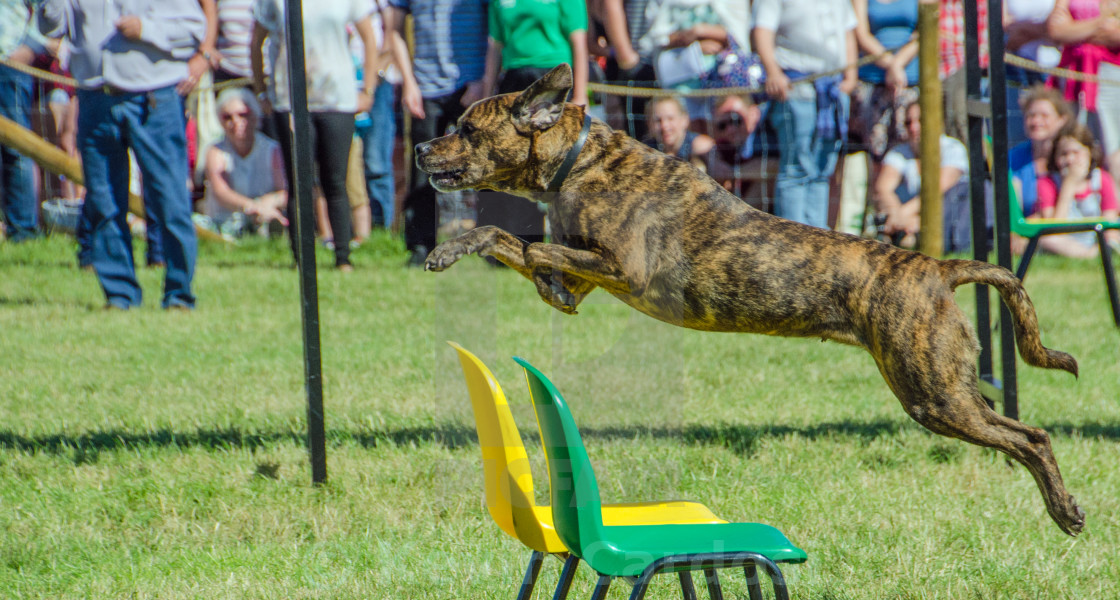 """Jumping Dog"" stock image"