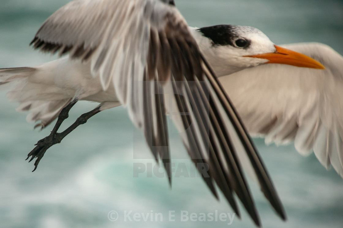 """""""Close-Up of Sea Gull Flying"""" stock image"""