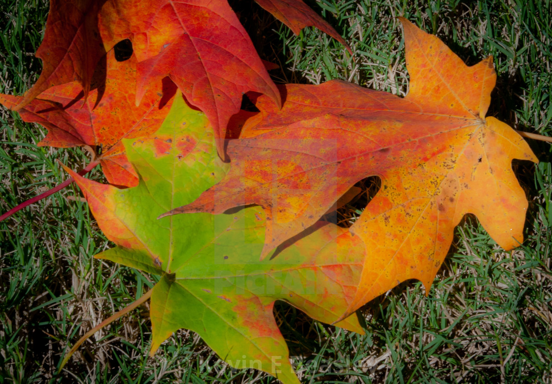 """""""A Trio Beautiful Fall Leaves in Full Color"""" stock image"""