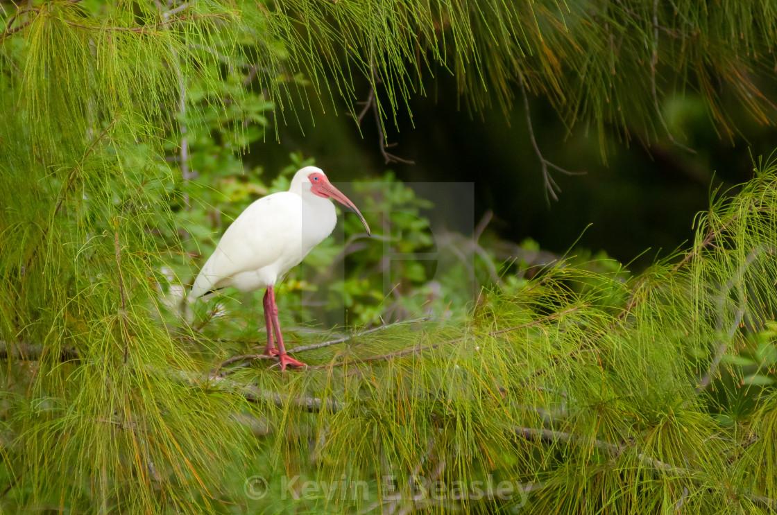 """White Ibis (Eudocimus albus) in South Florida"" stock image"