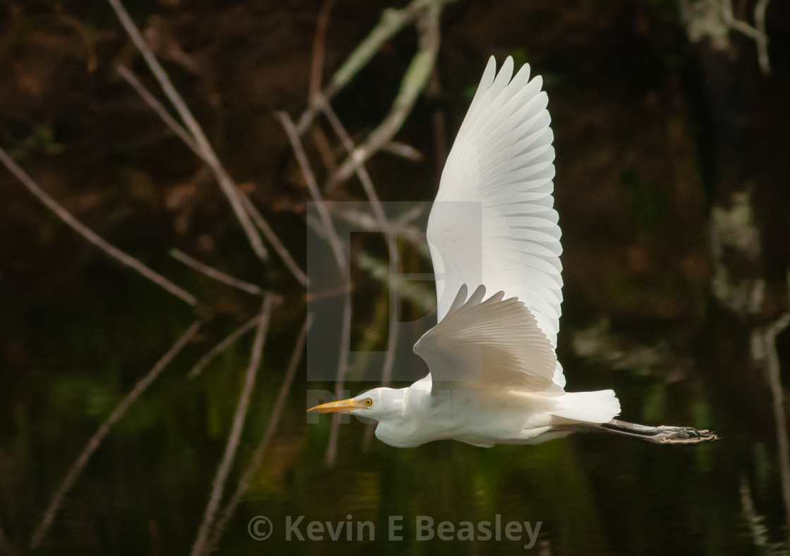"""Great Egret (Ardea alba) Flying Over Lake in South Florida"" stock image"