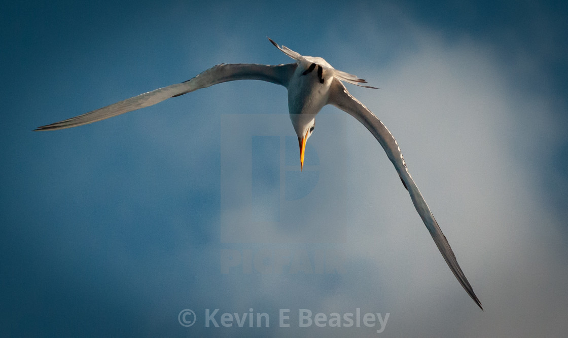 """""""Seagull on the Hunt"""" stock image"""