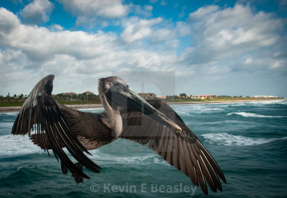 """""""Brown Pelican (Pelecanus occidentalis) on the Hunt for Morning Meal"""" stock image"""
