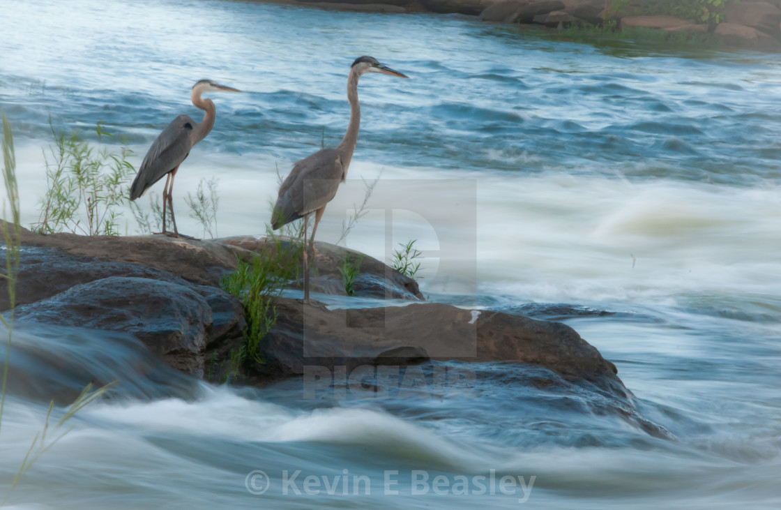 Great Blue Heron (Ardea herodias) on the Flowing River