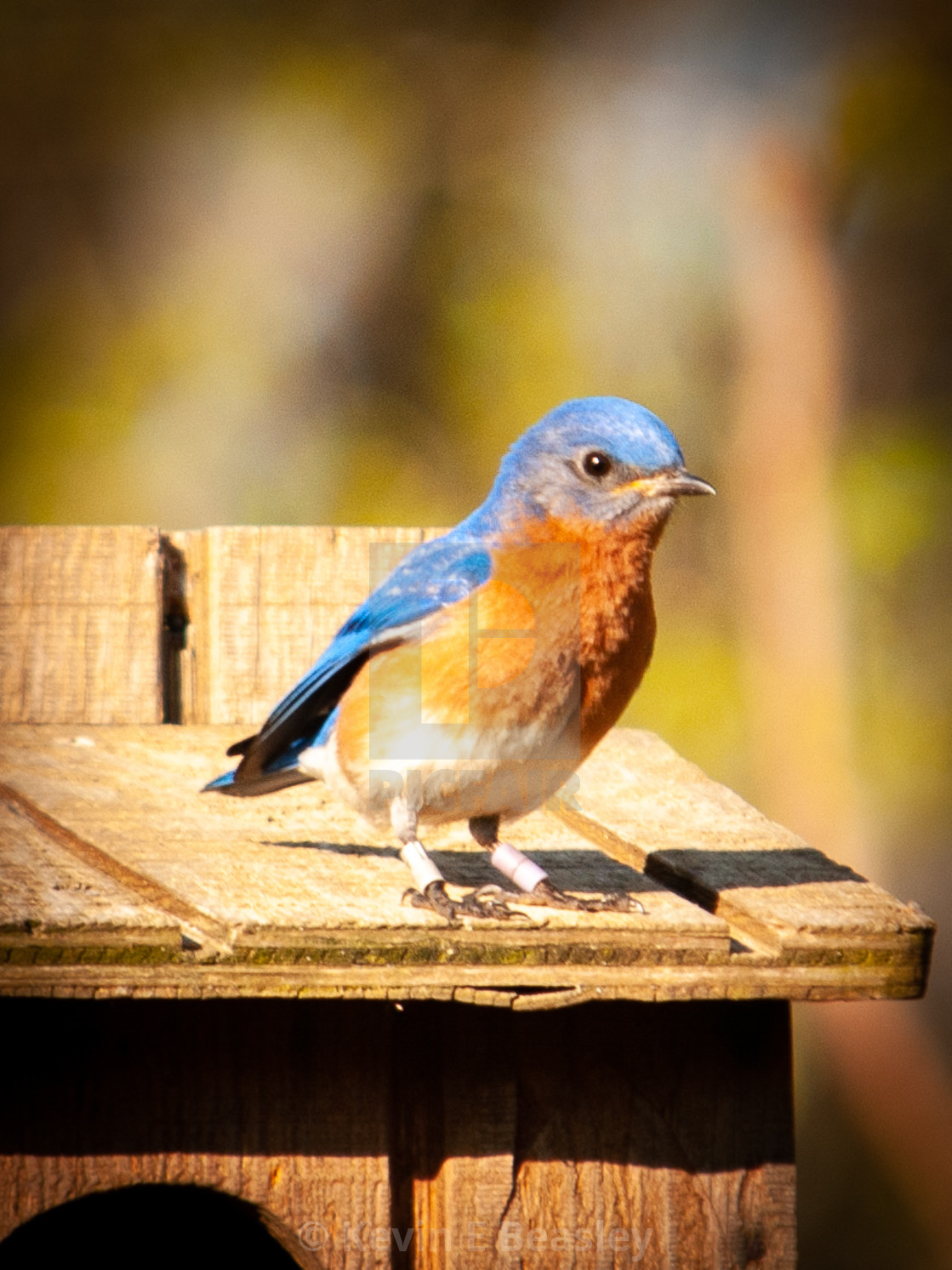 """Male Eastern Bluebird in the Spring (Sialia sialis)"" stock image"